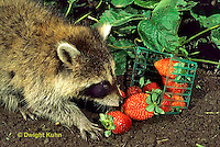 MA22-030x  Raccoon - young animal exploring, finding food (strawberries) in garden - Procyon lotor