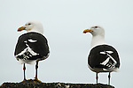 Kelp Gull (Larus dominicanus) pair, Kaikoura, South Island, New Zealand