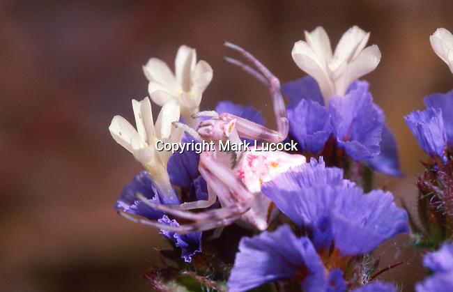 Crab Spider (Thomisus onustus) on statis flower, Lesbos