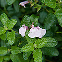 Salvia x jamensis 'Peter Vidgeon', mid October.