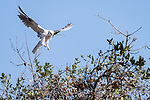 San Diego, California; an adult White-tailed Kite flying to it's nesting site with a small branch, as it works to complete the nest