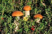 Birken-Rotkappe, Birkenrotkappe, Schwarzschuppige Rotkappe, Heide-Rotkappe, Heiderotkappe, Leccinum versipelle, Leccinum testaceoscabrum, Orange Birch Bolete