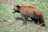 Cinnamon Bear, Yellowstone National Park