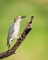 Male Golden-Fronted Woodpecker perched on dead limb, with tongue out