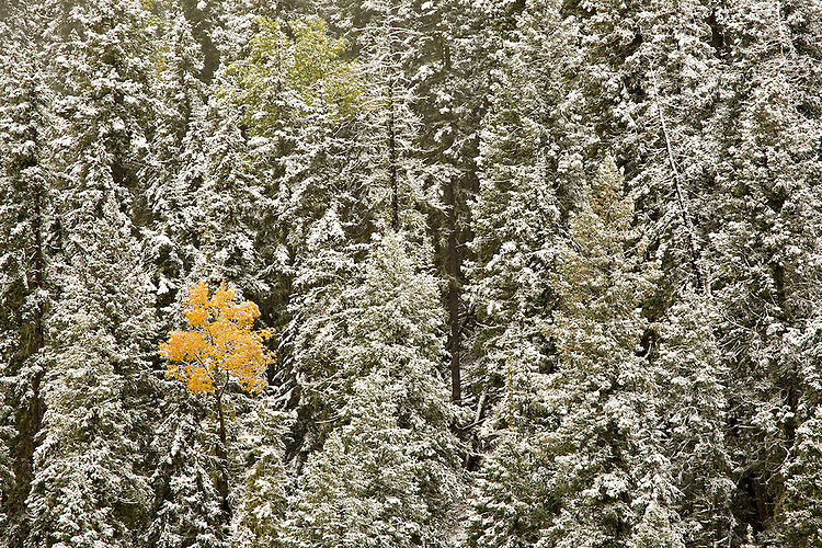 A single aspen (Populus tremuloides) changes colors among a forest of snow covered Ponderosa pines (Pinus ponderosa).