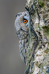 Long-eared owl plays peek-a-boo with photographer Albert Beukhof
