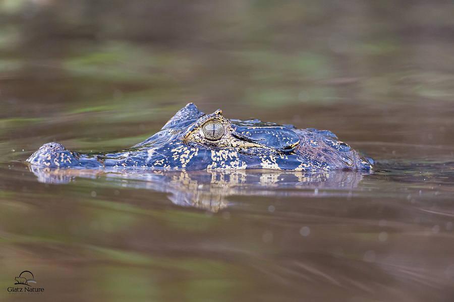 Cruising down a river during a slight rainfall, we didn't even sense this young Yacaré Caiman (Caiman yacare) until it was right next to our boat.  The Pantanal, Brazil.