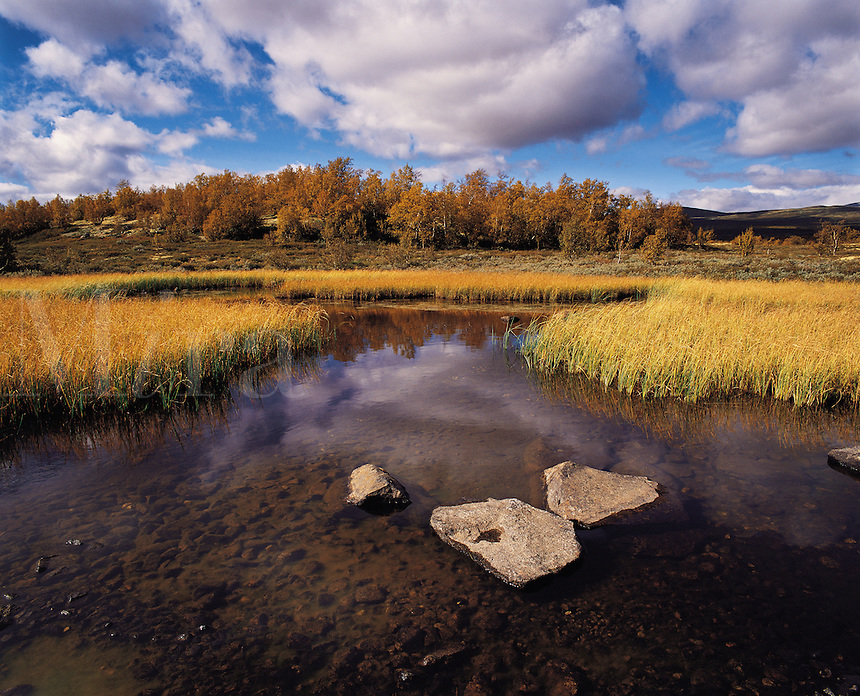 Northern birches and a reed-fringed pond under a blue and partly-cloudy sky, in the sub-arctic region of Dovrefjell, Norwa