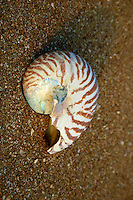 Chambered Nautilus shell on Flinder's Beach, Mapoon, Cape York Peninsula