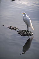 Great Egret perched on the back of an American Aligator, Florida, FL