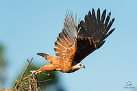 Black-collared Hawk (Busarellus nigricollis) launches from a tree in a tributary stream of the Rio Negro in The Pantanal, Brazil.
