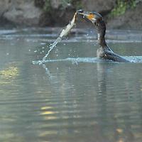 A great cormorant - Phalacrocorax carbo - that captures and swallows a relatively big fish. This happened in an early winter morning in one of the little lakes of villa Ada. In fact, the bird dived in the lake water twice, and it eated two big fishes. This is the sequence of the second part of the meal (A) (Rome, 2020). -- Un cormorano - Phalacrocorax carbo - che cattura e ingoia un pesce relativamente grande. Questo è successo in una mattina invernale sul presto, in uno dei laghetti di villa Ada. Di fatto, l'uccello si è immerso nelle acque del lago due volte, ed ha mangiato due grandi pesci. Questa è la sequenza della seconda parte del pasto (A) (Roma, 2020).