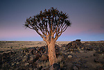 Quiver Tree, Sossusvlei, Namib-Naukluft Park, Namibia
