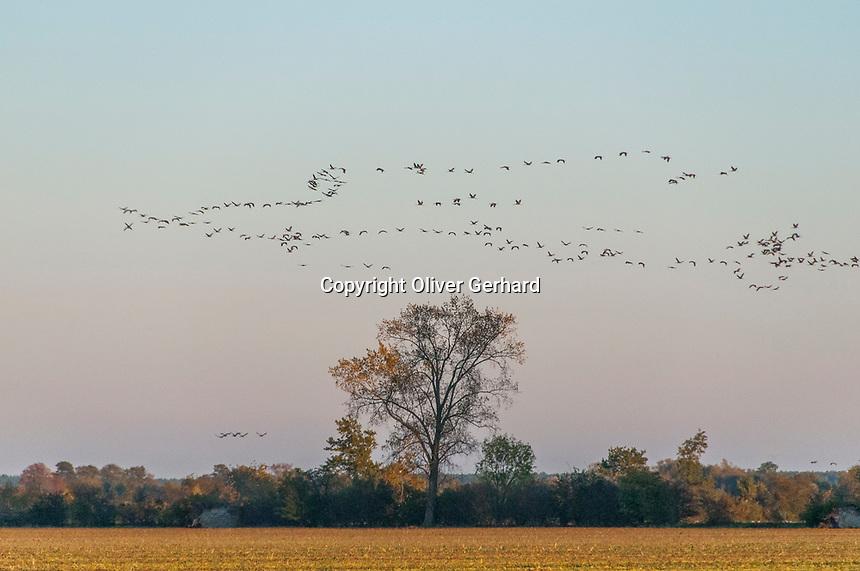 Kraniche auf dem Weg zu ihren Schlafplätzen im Linumer Teichland, Linum, Fehrbellin, Ostprignitz-Ruppin, Brandenburg, Deutschland