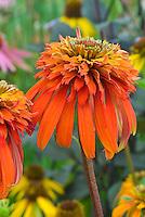 Echinacea 'Hot Papaya' double flower orange coneflower