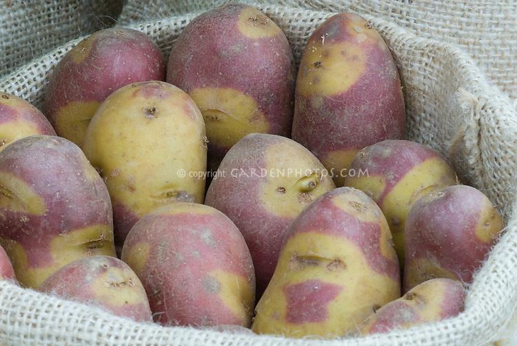 Potatoes 'Mayan Experimental Salad' (Solanum) yellow and red mottled root vegetables in burlap bag