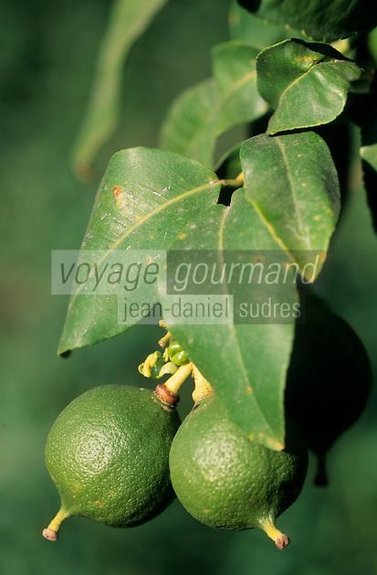 Europe/Italie/Calabre/Bova Marina : Verger de bergamote - fruit cultivé pour ses huiles essentielles qui servent en parfumerie