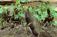 MU34-013z  Prairie Vole - Microtus ochrogaster