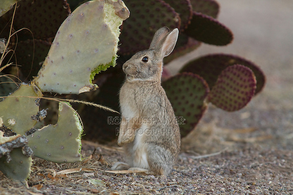 Desert Cottontail (Sylvilagus audubonii) eating cacti, Bosque del Apache National Wildlife Refuge , New Mexico, USA