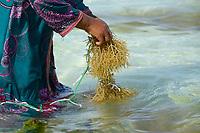 TANZANIA, Zanzibar, Paje, women plant seaweed near the beach, the red algae is used to extract carageenan as thickener for cosmetics and the food  industry / TANSANIA, Sansibar, Paje, Frauen pflanzen Rotalgen am Strand, aus den essbaren Algen wird Carrageen als Verdickungsmittel fuer Kosmetik und die Nahrungsmittelindustrie gewonnen, z.B. Eis, Cola, Syrup, Saft usw.