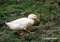 DG13-001x  Pekin Duck - female adult walking to nest