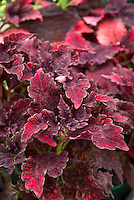 Solenostemon Stained Glassworks 'Molten Lava' (Coleus) ornamental annual foliage plant in leaf colors of purple magenta pink