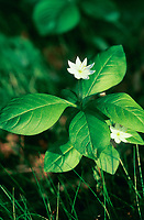 Siebenstern, Europäischer Siebenstern, Trientalis europaea, Lysimachia europaea, chickweed-wintergreen, chickweed wintergreen, Arctic starflower, Le Trientale d'Europe