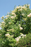 Chionanthus virginicus Fringe Tree in flower in early June