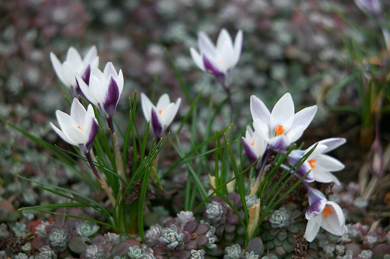 White crocus (Crocus chrysanthus) Laddy Killer. with groundcover (Stonecrop )(Sedum sathufilolium)