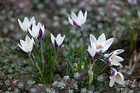 White crocus (Crocus chrysanthus) Laddy Killer. with groundcover (Stonecrop )(Sedum sathufilolium)