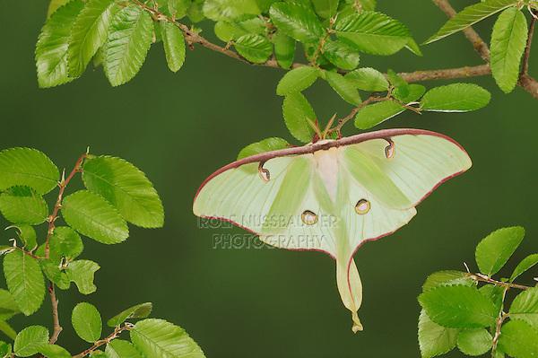 Luna Moth (Actias luna), adult perched on Cedar Elm (Ulmus crassifolia), New Braunfels, Texas, USA