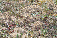 Weiden-Sandbiene, Kolonie in Sand, Brutröhren, Niströhren, Nisthaufen, Nest, Nester, Erdnest, Erdnester, Große Weiden-Sandbiene, Auen-Sandbiene, Auensandbiene, Weidensandbiene, Sandbiene, Andrena vaga, Andrena ovina, Grey-Backed Mining-Bee, mining bee, Sandbienen, mining bees