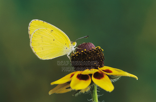Little Yellow, Eurema lisa, male on Clasping-leaved Coneflower(Dracopis amplexicaulis) , Willacy County, Rio Grande Valley, Texas, USA, May 2004