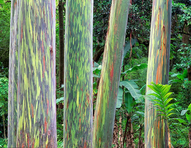 Trunks of Painted Eucalyptus trees. Maui, Hawaii.
