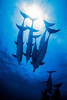 A pod of Atlantic spotted dolphins cruising the Bahamas banks. Stenella frontalis, Bahamas, Caribbean, Atlantic