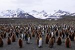 A king penguin colony on South Georgia.