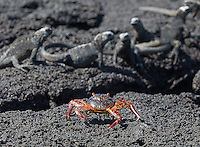 Sally Lightfoot crabs are among the more colorful residents of the Galapagos Islands.  Here, one passes in front of a group of juvenile marine iguanas.