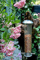 Bird feeder with peanuts amid pink roses and blue poles, pink roses Rosa climbing, attracting wildlife to backyard