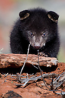 Baby Black Bear walking over the top of a rocky hill - CA