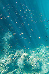 Sea of Cortez, Baja California, Mexico; a school of Scissortail Chromis fish swimming amongst sun beams at the opening to an underwater cave