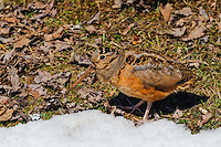 American Woodcock - Scolopax minor - camouflage. An upland shorebird that uses its long bill to probe the forest floor for food. Snow still in forest  greets Spring migrant  in Nova Scotia, Canada.
