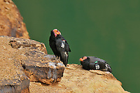 California Condors (Gymnogyps californianus) resting on cliff above Colorado River near Marble Canyon,Grand Canyon National Park, Arizona.