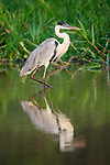 Male coqoi heron (Ardea coqoi) stalking in a backwater of the Cuiaba River, northern Pantanal, Mato Grosso, Brazil.
