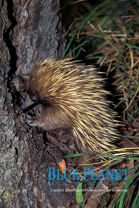 short-beaked echidna, aka spiny anteater, Tachyglossus aculeatus, eating ants, Australia