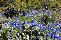 Yucca and bluebonnets in the Texas Hill Country near Marble Falls