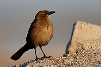 Great-tailed Grackle (Quiscalus mexicanus nelsoni), female foraging at the Salton Sea State Recreation Area, Mecca, California.