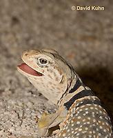 0612-1011  Displaying Teeth, Great Basin Collared Lizard (Mojave Black-collared Lizard), Mojave Desert, Crotaphytus bicinctores  © David Kuhn/Dwight Kuhn Photography