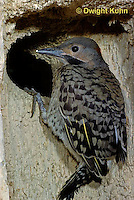 FK18-001z  Common Flicker - 21 day old young at opening of nest cavity in dead tree - Colaptes auratus