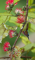 The brown-throated sunbird was one of many colorful birds found on the grounds of the Borneo Rainforest Lodge.