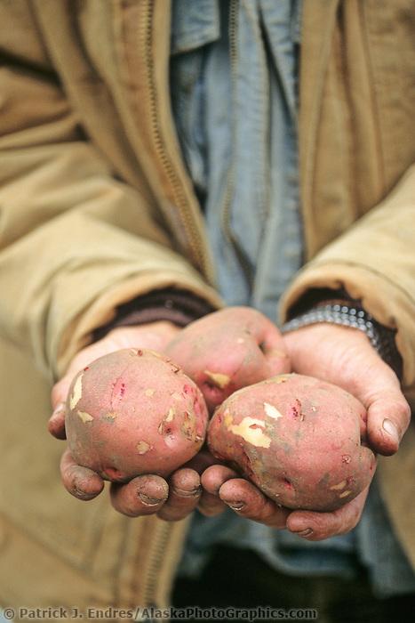 Alaska grown potatoes at the Tanana Valley Farmer's Market, Fairbanks, Alaska